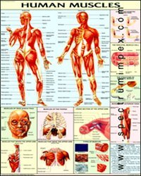 PHYSIOLOGY CHART