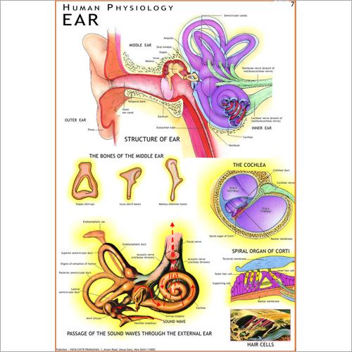 Human Ear Chart