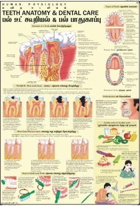Teeth & Dental Care Chart