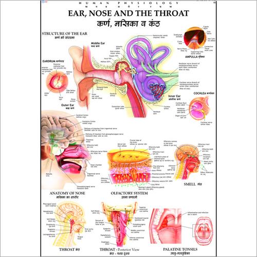 Ear, Nose & Throat Chart