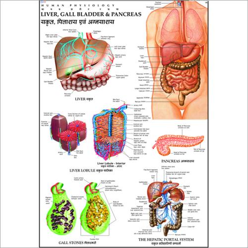 Liver, Gall Bladder & Pancreas Chart