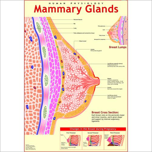 Mammary Glands Chart