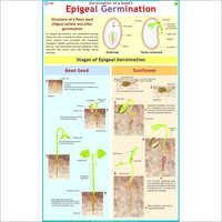 Epigeal Germination(Been Seed & Sunflower) Chart