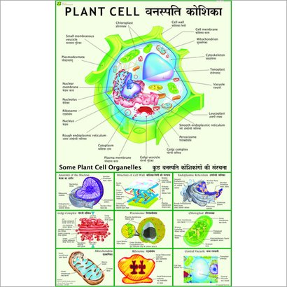 Plant Cell (Under Electron Microscope) Chart Dimensions: 70 X 100  Centimeter (Cm)