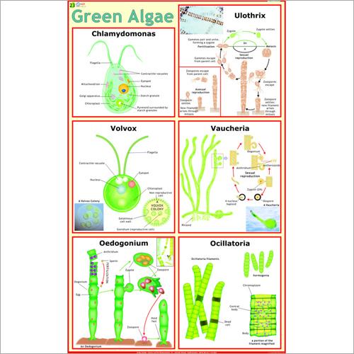 Green Algae Chart