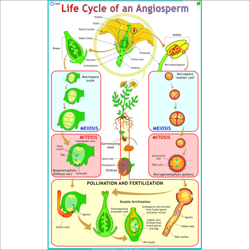 Life Cycle Of an Angiosperm Chart