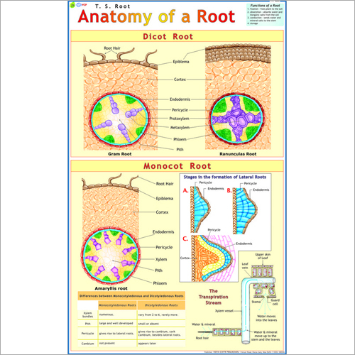 T.S. Root Chart