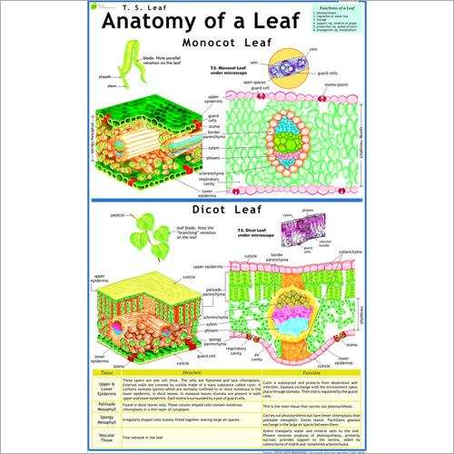 T.S. Leaf (Monocot & Dicot) Chart