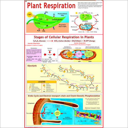 Plant Respiration (Glycolysis, Krebs Cycle) Chart