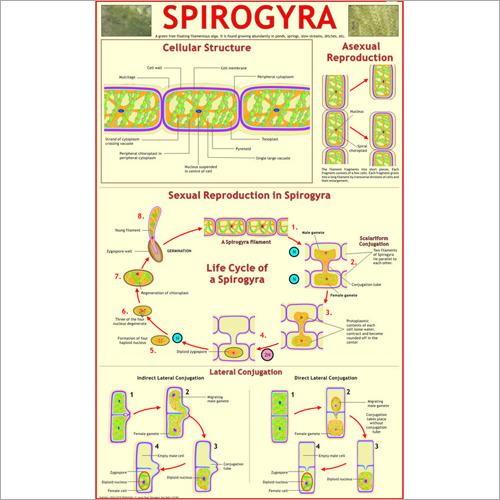Spirogyra Chart