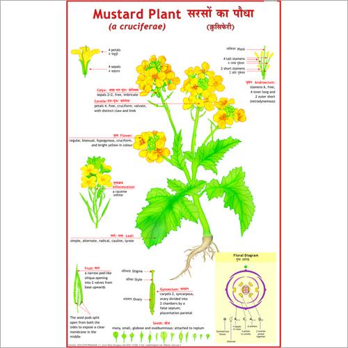 Mustard Plant (Cruciferae) Chart
