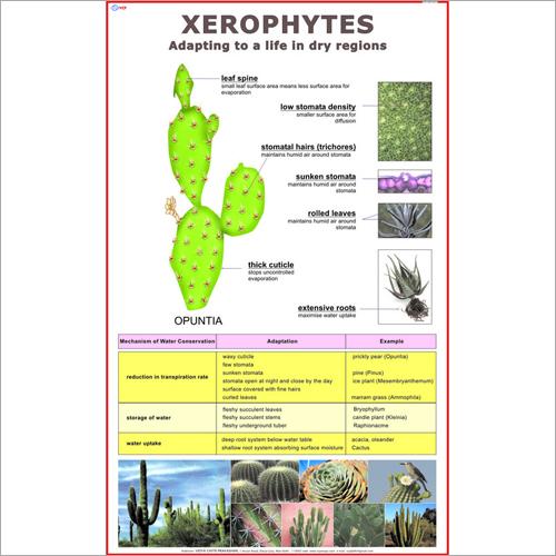 Xerophytes Chart