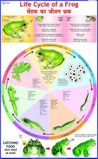 Life Cycle of Frog Chart