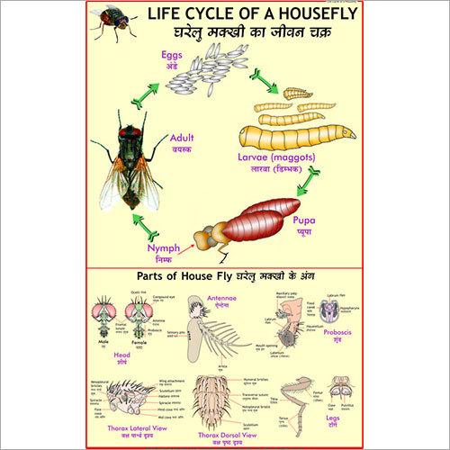 Life Cycle of Housefly Chart