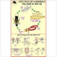Life Cycle of Housefly