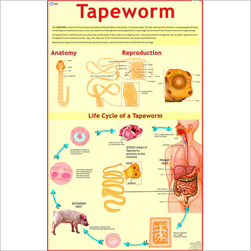 Life Cycle of Tapeworm Chart