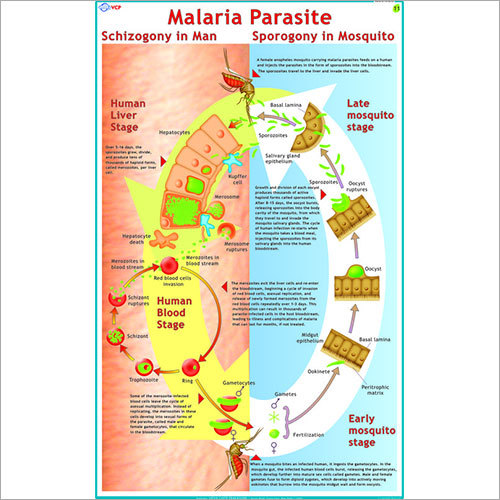 Life Cycle of Malaria Parasite (Plasmodium) Chart