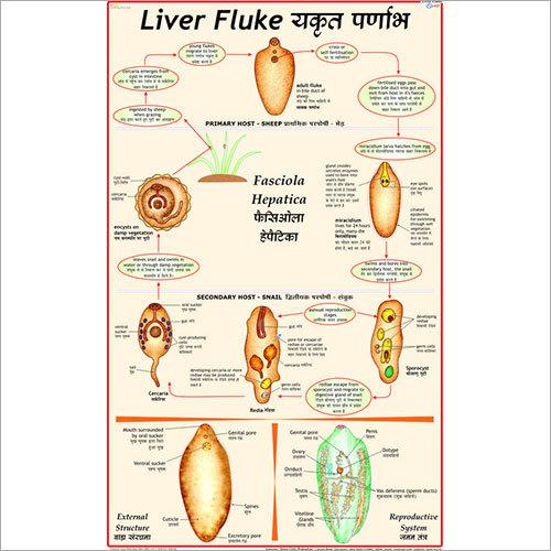 Life History of Liver Fluke Chart