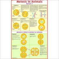 Meiosis in Animals
