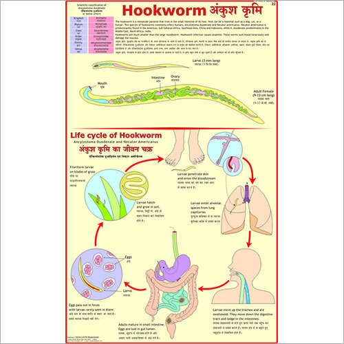 Hookworm Chart