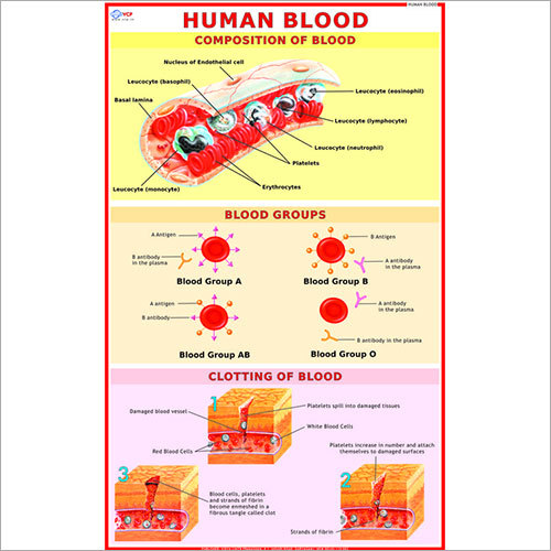 Human Blood Cell Chart