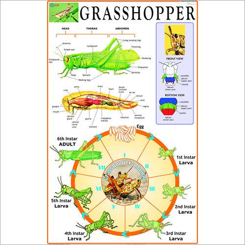 Grasshopper : Incomplete Metamorphosis Chart