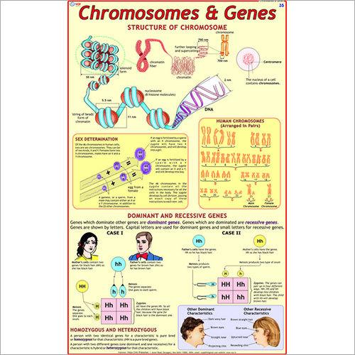 Chromosomes & Genes Chart