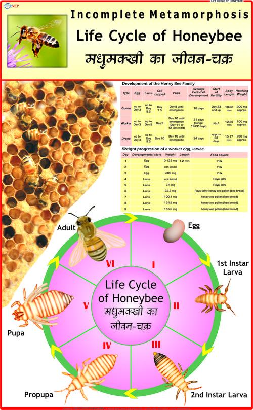 Life History of Honey Bee Chart