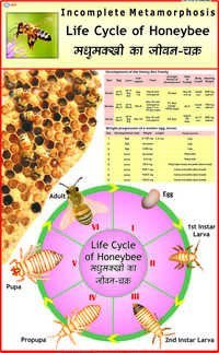 Life History of Honey Bee