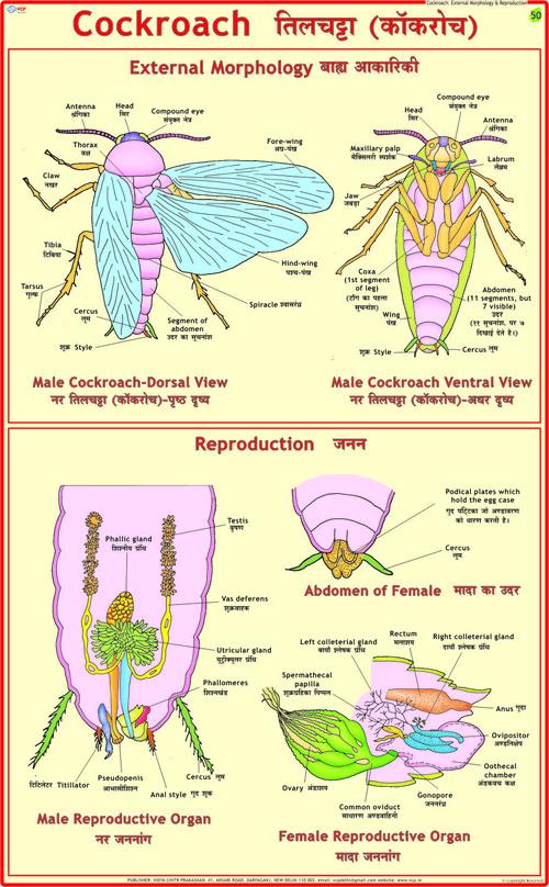 Cockroach: Morphology & Reproduction Chart