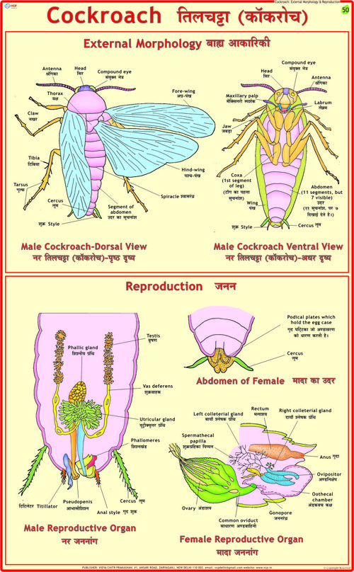 Cockroach: Morphology & Reproduction