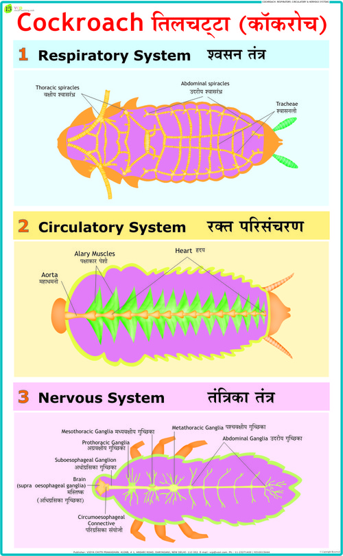 Cockroach: Blood Circulation, Respiratory, & Nervous System
