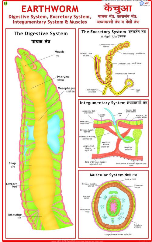 Earthworm: Digestion, Skin & Excretion Chart
