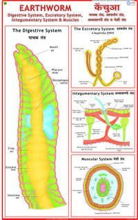 Earthworm: Digestion, Skin & Excretion