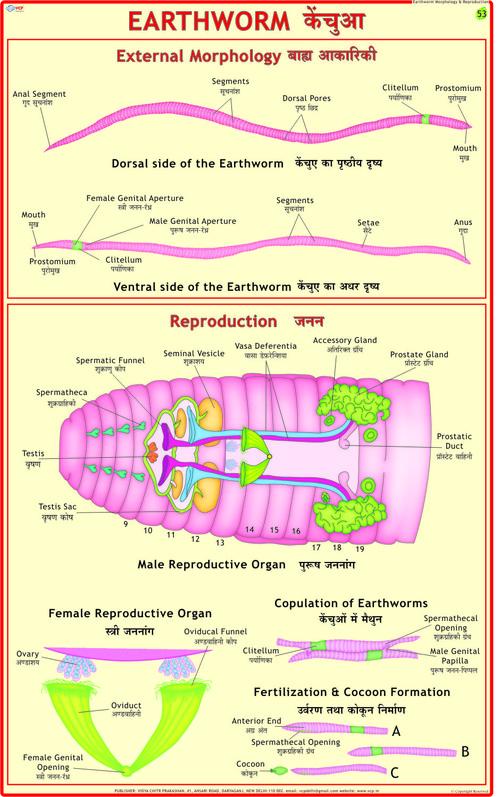 Earthworm: Ext. Morphology & Reproduction Chart