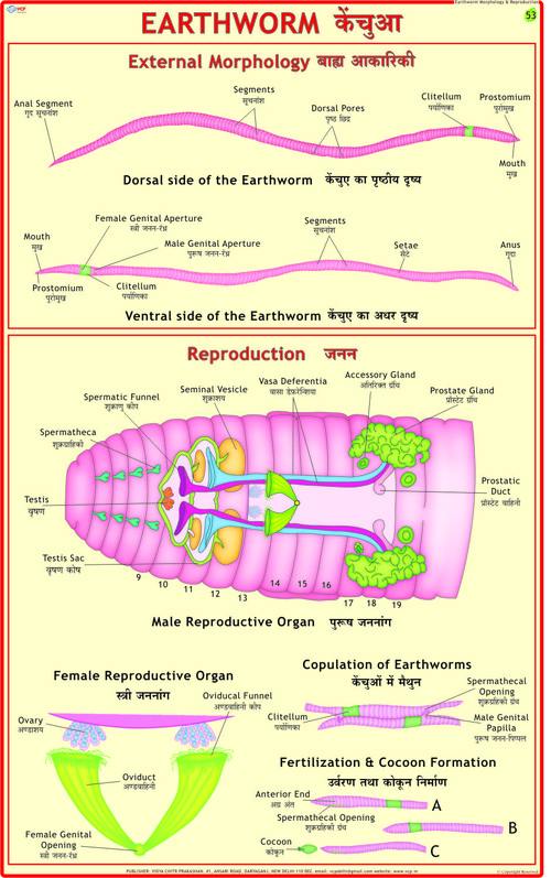 Earthworm: Ext. Morphology & Reproduction