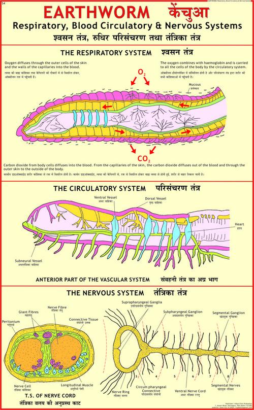 Earthworm: Blood Circulation, Respiratory & Nervous System Chart
