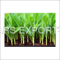 Young Green Maize