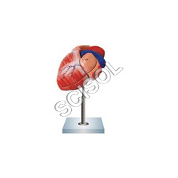 Human Heart with Diaphragm