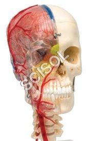 Anatomy & Human Organ Models