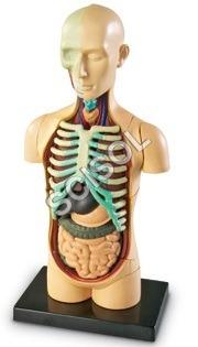 Human body on board