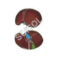 Human Liver Model