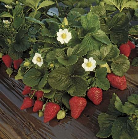 Strawberry Fruits Plants