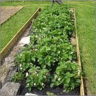 strawberry plants Services