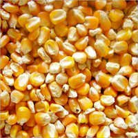 yELLOW Maize/corn : Animal feeding
