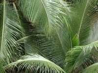 Coconut Fronds