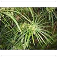 Nagarmotha Plant