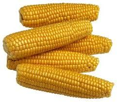 Credence Yellow Maize Corn