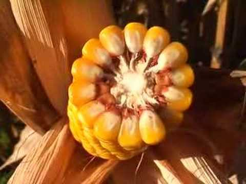 Yellow golden Corn / Maize