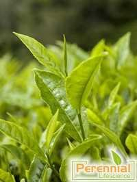 GREEN TEA EXTRACT WITH TEA POLYPHENOLS